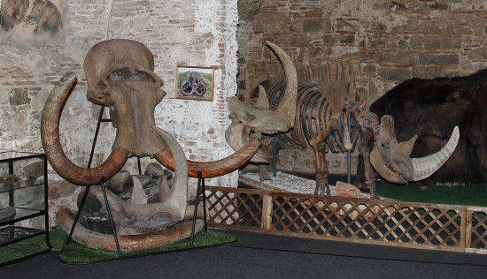 Skull of a mammoth and woolly rhinoceros, in the museum