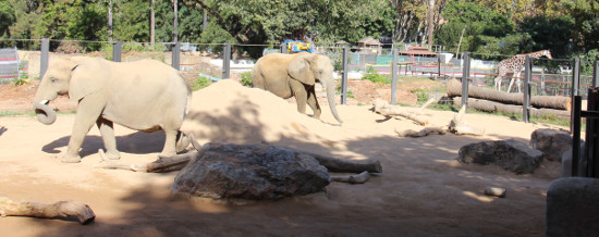 Elephants and giraffes in the Barcelona zoo savanna